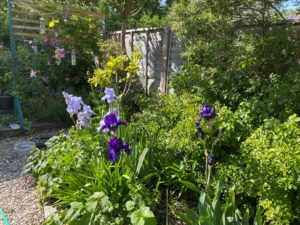 a photo of irises and greenery with a gray fence visible in the background