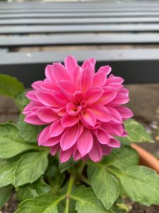a close up photo of a vibrant pink dahlia with a gray fence behind it