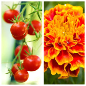 photo ID: a side by side photo of cherry tomatoes on a stem and a marigold flower
